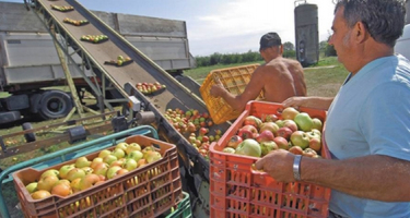 Kevés alma, sok alma: mindig mi járunk rosszul!